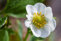Flower of strawberry in the morning dew close up Royalty Free Stock Photos