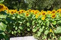 Flower of the sun helianthus plant family asteraceae sunflower oil Stock Photos