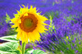 Flower sunflower growing on a lavender field. Royalty Free Stock Photo