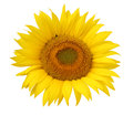 Flower of sunflower isolated on a white background. Royalty Free Stock Photo