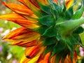 Flower sunflower summer vitality yellow green leaves Stock Images