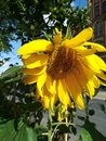 Flower of a sunflower in the sun Royalty Free Stock Photo