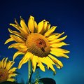 Flower Sunflowers. Blooming in farm - field with blue sky. Beautiful natural colored background. Royalty Free Stock Photo