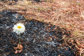 Flower survive on ash of burnt grass white can due to wildfire Royalty Free Stock Images