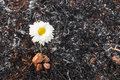 Flower survive on ash of burnt grass white can due to wildfire Royalty Free Stock Photography
