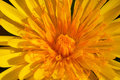 Flower taraxacum vulgare composition of a fantastic yellow Stock Photos