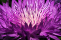 A flower of a thistle with brightly violet long petals. Royalty Free Stock Photo