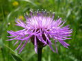 Flower of thistle in sunny day Royalty Free Stock Photos