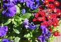 Flower time garden spring summer red and blue flowers primrose primula Royalty Free Stock Images