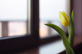 Flower tulip cut green leaves sort of strong gold the netherlands window glass window sills yellow beautiful sunny cloudy one Stock Image