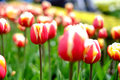 Flower tulips background. Beautiful view of red tulips under sun Royalty Free Stock Photo