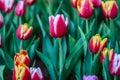 Flower tulips