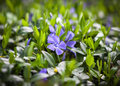 Flower vinca minor periwinkle small plants with flowers Royalty Free Stock Photography