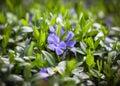 Flower vinca minor Royalty Free Stock Photo