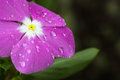 Flower with water droplets. Royalty Free Stock Photo