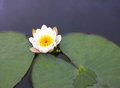 A flower of a white water lily with delicate petals leaves Royalty Free Stock Photo