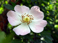 Flower wild rose Stock Images