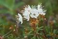 Flower wild rosemary - Ledum palustre in natural tundra environm Royalty Free Stock Photo