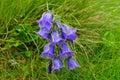 Kvet, Willow Gentiana