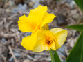 Flower of yellow canna this is a photograph a Stock Photo