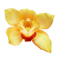 Flower of yellow orchid photo realistic illustration isolated on white Royalty Free Stock Photography