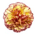 Flower yellow-red carnation  on a white isolated background with clipping path.   Closeup.  No shadows.  For design. Royalty Free Stock Photo