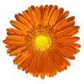 Flower yellow red Gerbera isolated on white background. Close-up. Macro. Element of design Royalty Free Stock Photo