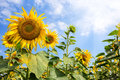A flower of a yellow sunflower under a bright summer sun Royalty Free Stock Photo