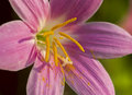 Flower zephyranthes closeup