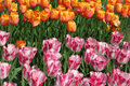 Flowerbed with bright pink and yellow tulip Stock Images