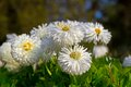 Flowerbed of chrysanthemium in nikita botanical garden close to yalta Stock Image