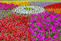 Flowerbed of colorful flowers petunias marigolds tsenerariya begonia etc Stock Images