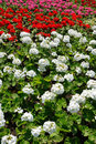 Flowerbed of colorful geranium Royalty Free Stock Image