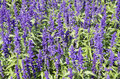 The flowerbed of mealy sage salvia farinacea background Stock Photos
