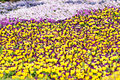Flowerbed of pansies. Royalty Free Stock Image