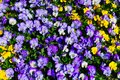 Violet and yellow pansies