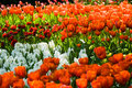 Flowerbed in spring with orange tulips Stock Photo