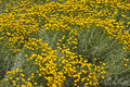 Flowerbed of tall yellow flowers Royalty Free Stock Photo