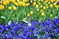 Flowerbed of yellow tulips and blue pansies Royalty Free Stock Photo