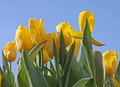 Flowerbed with yellow tulips over blue sky Royalty Free Stock Photography