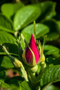 Flowerbud red rosã  garden around another Royalty Free Stock Image