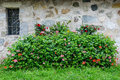 Flowered bush a along a stone wall Royalty Free Stock Photo
