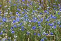 Flowered wheatfield with blue cornflowers Royalty Free Stock Images