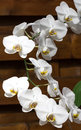 Floweres curve a beautiful orchids bloom decorates the wooden wall Royalty Free Stock Image