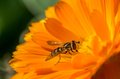 Flowerfly detail shot of flower fly sitting on orange garden flower Stock Photography