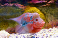 Flowerhorn Cichlid fish Stock Photo