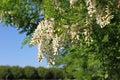 Flowering acacia Stock Photos