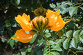 Flowering African tuliptree in Laguna Woods, California. Royalty Free Stock Photo