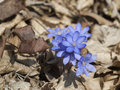 Flowering anemone hepatica wild nobilis Stock Images