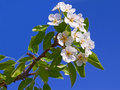 Flowering apple branch close-up Stock Photo
